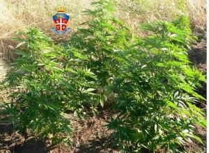 Una Piantagione illegale di marijuana
